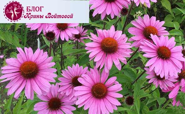 эхинацея-пурпурная-лечебные-свойства-и-противопоказанияjpg