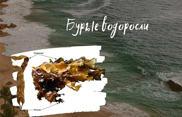 Бурые-водоросли
